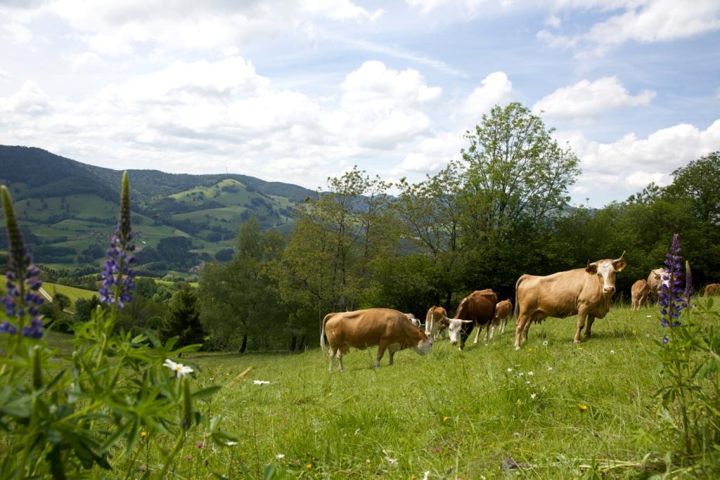 Kuhherde auf einer grünen Wiese