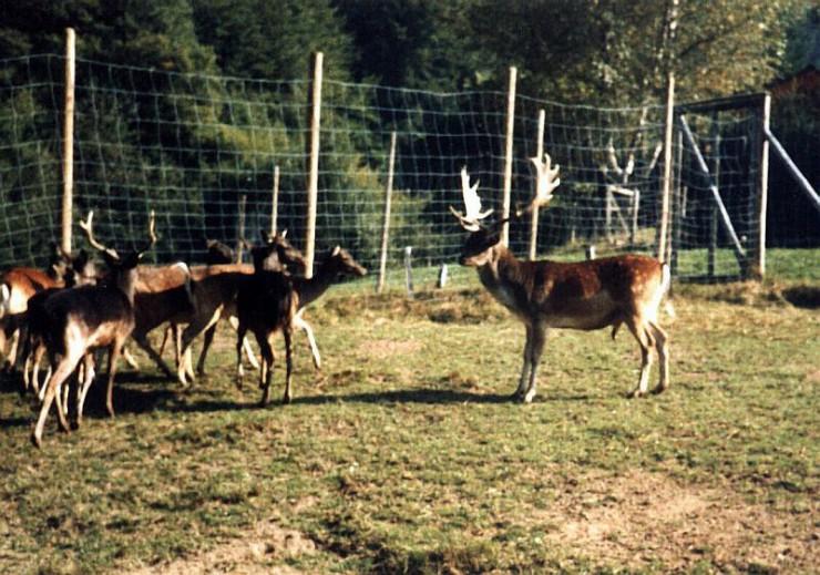 Hirsch und Rehe im Wildgehge Zell im Wiesental