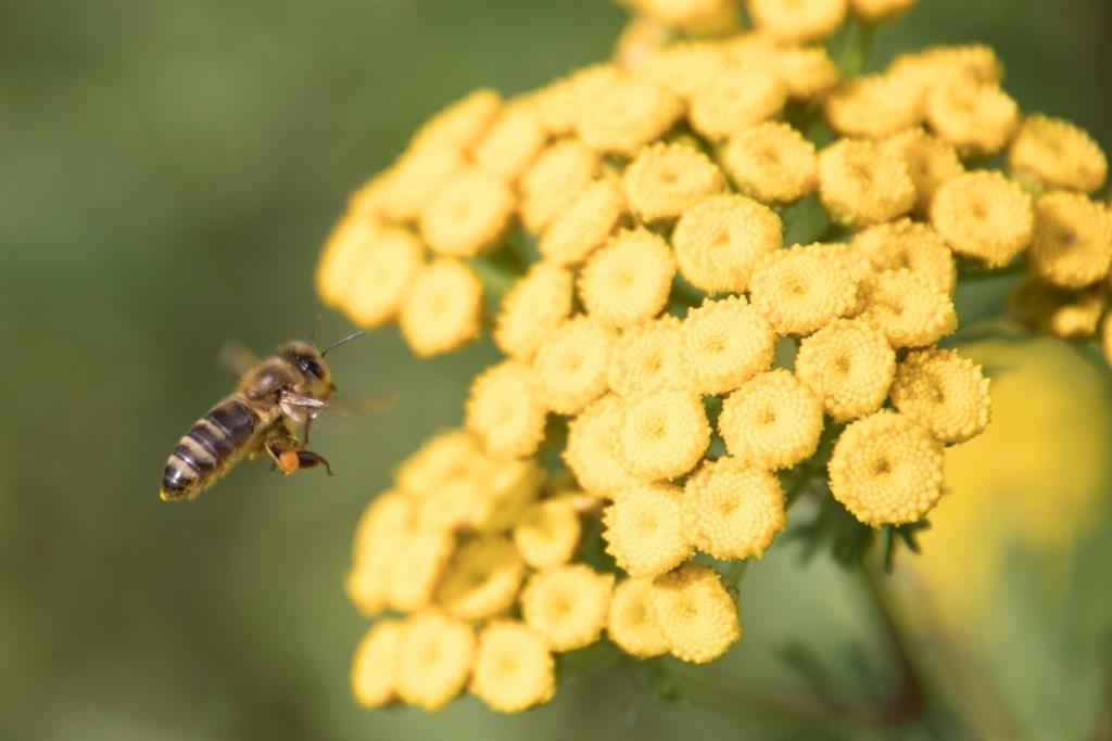 Rainfarn, gelb, Biene im Anflug KOMPRIMIERT AUSSCHNITT