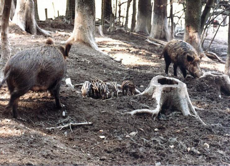 Wildschweine und Frischlinge im Wildgehge Zell im Wiesental