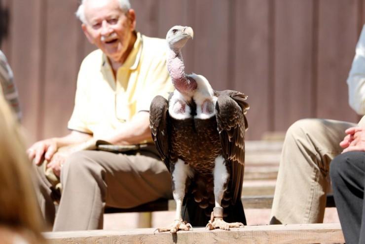 Vogel bei einer Flugshow im Vogelpark Steinen