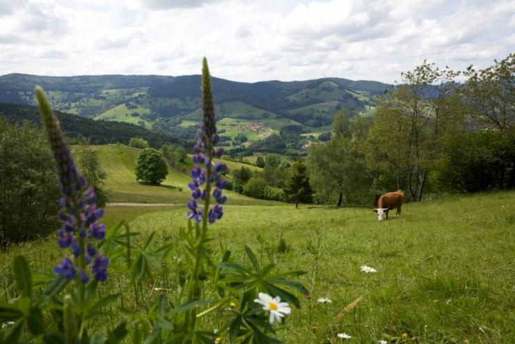 Einsame Kuh auf einer grünen Wiese
