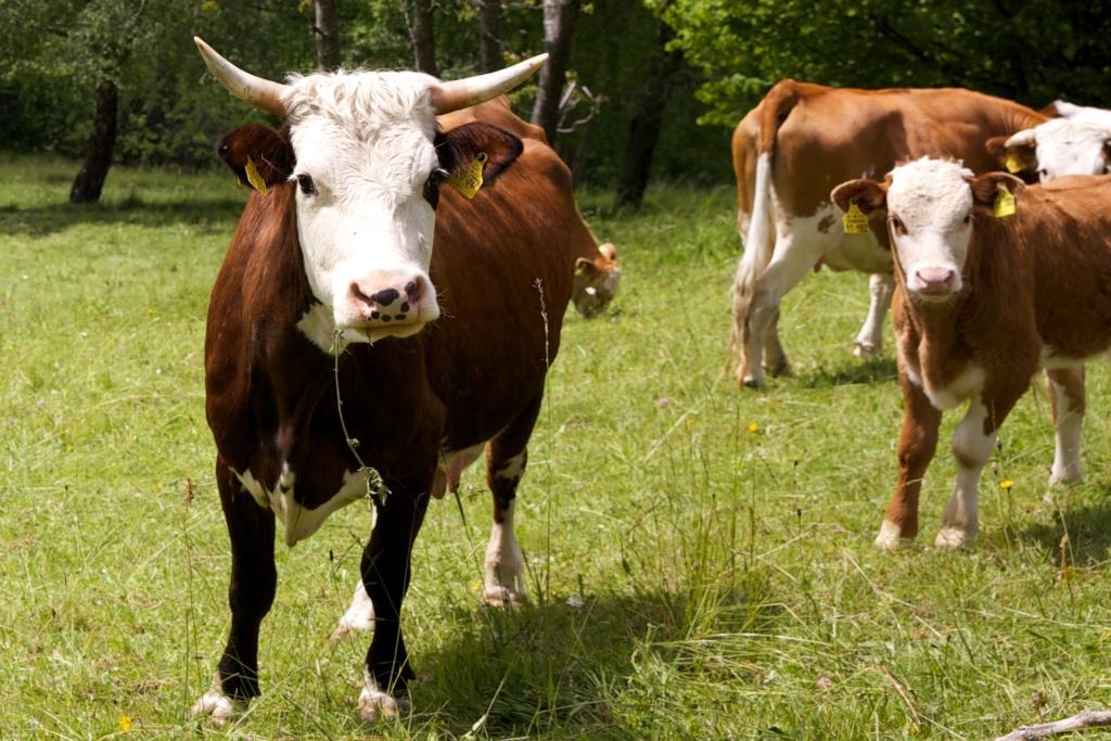 Drei Kühe auf einer grünen Wiese