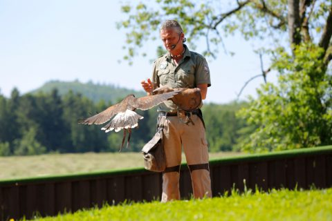 Falkner mit Vogel im Vogelpark Steinen