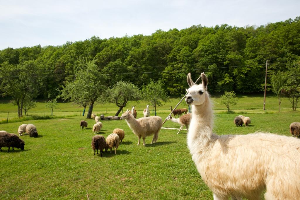 Lamas und Schafe auf einer Wiese in Steinen