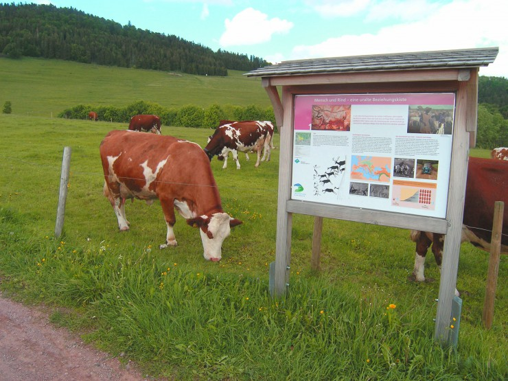 Kühe beim Rinderlehrpfad in Schopfheim-Gersbach