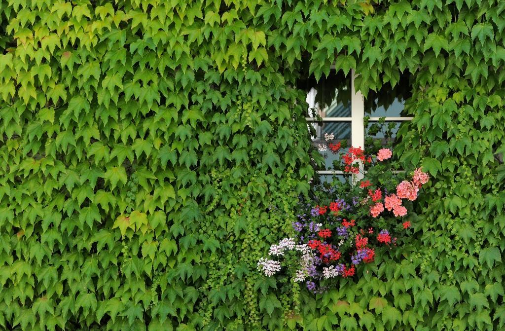 Fenster mit Efeuwand und Blumen in der Altstadt