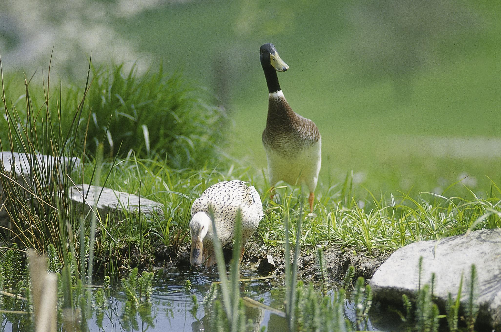 Zwei Enten zwischen Gräsern am Wasser Naturpark Südschwarzwald