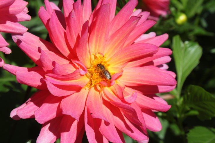 Dahlie, pink mit Biene, nah