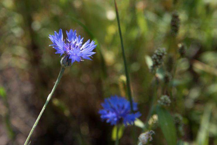 Kornblume, blau-violett, eine scharf, eine unscharfKOMPRIMIERT