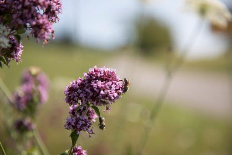 Oregano, lila, Horizont unscharf BieneKOMPRIMIERT