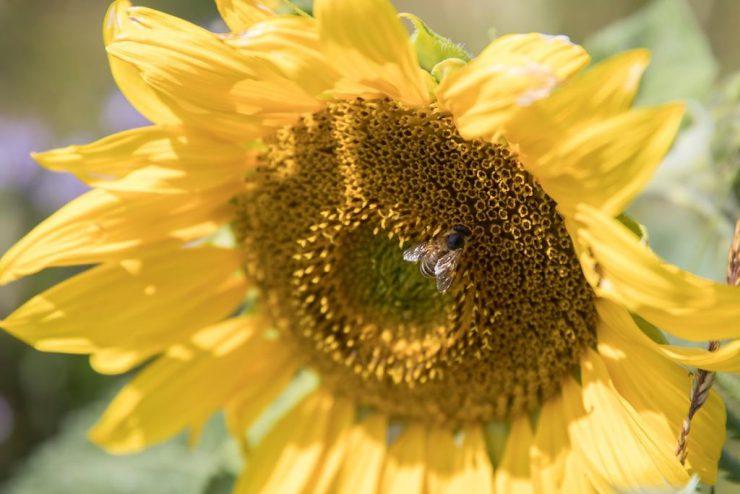 Sonneblume, Biene mittig3KOMPRIMIERT